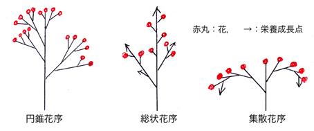 花序の進化発生
